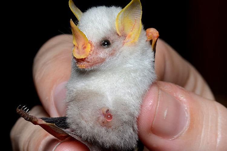 The Honduran White Bat.